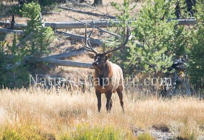 Bull Elk, near Madison River