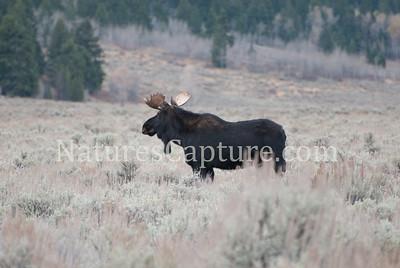 Bull Moose, Gros Ventre River area