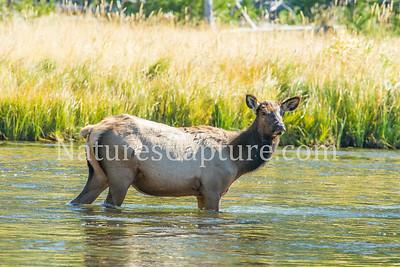 Elk, Madison River