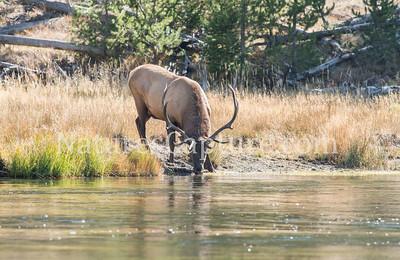 Bull Elk, Madison River