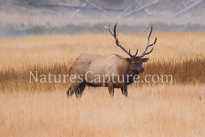 Bull Elk, Madison River area