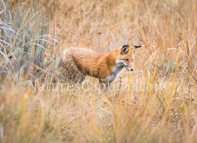 Red Fox near Yellowstone River, Tower area