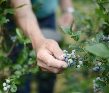 Richard Engle, of Bastress, has been picking blueberries at Byer's Blueberry Farm in Allenwood for over 20 years. Each year he picks about five to six galloons of berries and then freezes them to enjoy all year.