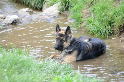 Bear lounges in a creek running through the dog park in Northumberland.