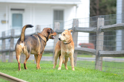 Rusty, left, and Max, play with each other at the Selinsgrove Dog Park.