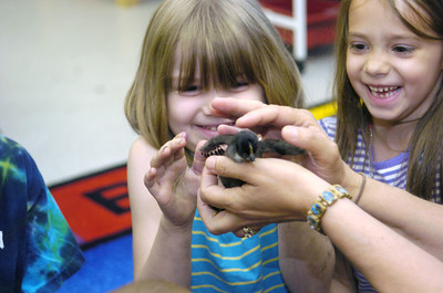 Danville kindergarten students Lilly Felici, left, and Cheyenne Hart, smile as they get to pet one of the recently hatched baby chickens in Mrs. Welliver's class on Monday.
