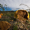 The amount of rainfall has caused pumpkins to rot earlier than they should this year.