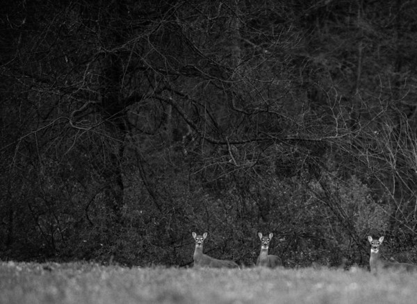 A group of doe watch cars drive by in Point Township on Wednesday.