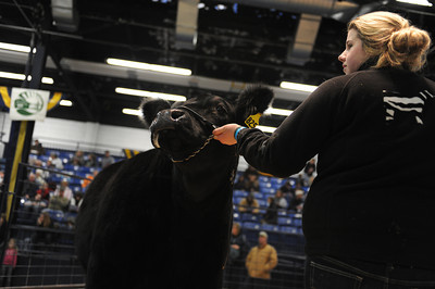 Hannah Imgrund, 16 of Lewisburg, shows off her market steer during the sale at the PA Farm Show on Tuesday afternoon in Harrisburg. Imgrund's steer sold for ovr $2000.