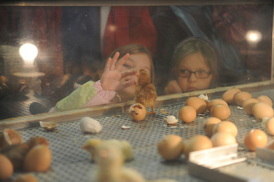 Olivia Rowan, 5 of Selinsgrove, watches the hatching chicks at the PA Farm Show on Tuesday afternoon in Harrisburg.