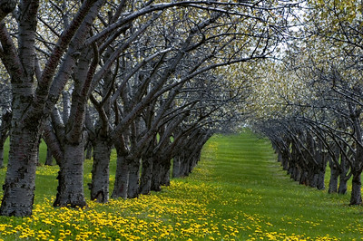 Old Mission | Cherry Orchard | Grand Traverse County         spring
