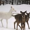 """  Kicking Some Butt  ""  Wild Albino whitetail deer of Boulder Junction Wisconsin"