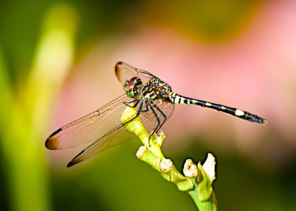 July 13, 2013,  Swift Setwing  - captured on a lily stalk and highlighted in front of a pink cone flower -  pretty nice pose for a dragonfly!