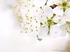 04-29-2013 Blossom under the rain
