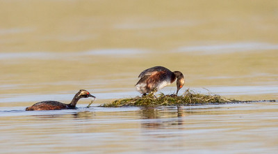 Eared Grebe  Crowley Lake 2013 0721 (7 of 7)-2.CR2