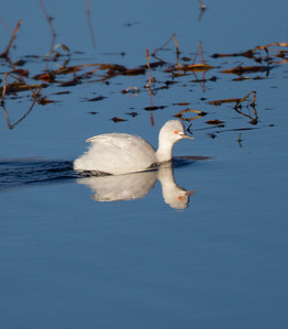 Eared Grebe leucistic Bridgeport 2018 10 28-3.CR2