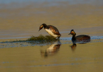 Eared Grebe  Crowley Lake 2013 07 21 (1 of 7).CR2 (1 of 3).CR2