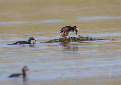 Eared Grebe  Crowley Lake 2013 0721 (6 of 7)-2.CR2