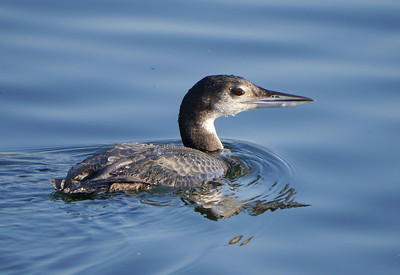 Great Northern Diver (Gavia immer) [juvenile], Caldecotte Lake, Buckinghamshire, 20/11/2011