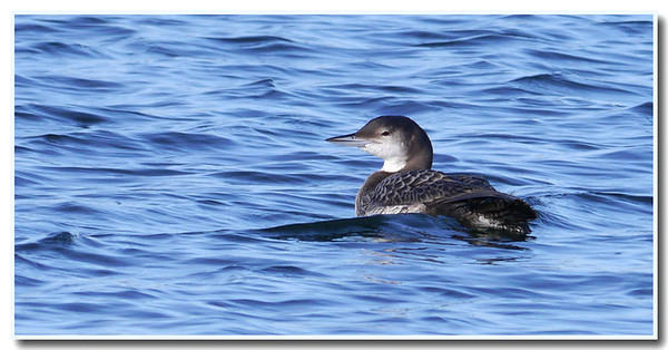 Great Northern Diver (Gavia immer) [juvenile], Caldecotte Lake, Buckinghamshire, 25/11/2011 (a second visit to the lake but this time the diver was more distant and the water more choppy)
