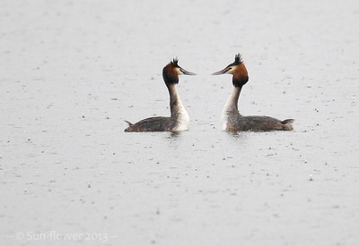 Great crested Grebe (Podiceps cristatus), Marsworth reservoir, Hertfordshire, 12/04/2013. Courting in the pouring rain! I think the female is on the left, with the slightly heavier-billed and longer-crested male, on the right.