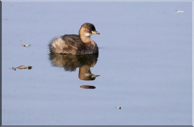 Little Grebe (Tachybaptus ruficollis) [winter plumage], Amwell nature reserve, Lee Valley, Hertfordshire, 23/10/2011