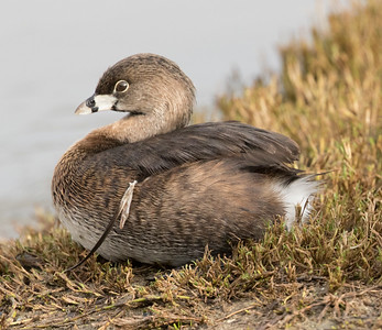 Pied-billed Grebe  Oceanside 2016 01 12-3.CR2