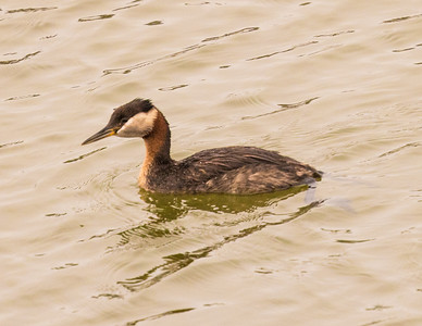 Red-necked Grebe Penesquitos Lagoon 2016 06 09-5.CR2