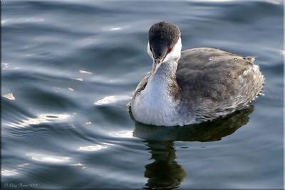 Slavonian Grebe (Podiceps auritus), Wilstone Reservoir, Nr Tring, Hertfordshire, 27/10/2012