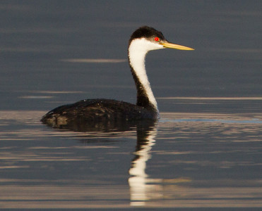 Western Grebe  Crowley Lake 2011 09 13-1.CR2