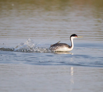 Western Grebe San Joaquin Wildlife Sanctuary 2016 07 30-2.CR2