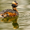 Horned Grebe, Crossings of Colonie, 4-26-14