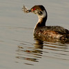 Horned Grebe, Stillwater, NY 4-7-14