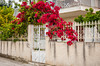 Bright red bougainvillea flowers adorn fences and gates near Corinth, Greece.