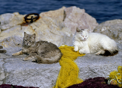cats at Hydra, after having received some fish from the fishermen