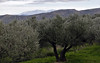 Olive oil production, Crete, December 2009 1.     Olive trees near Ayios Georgios.