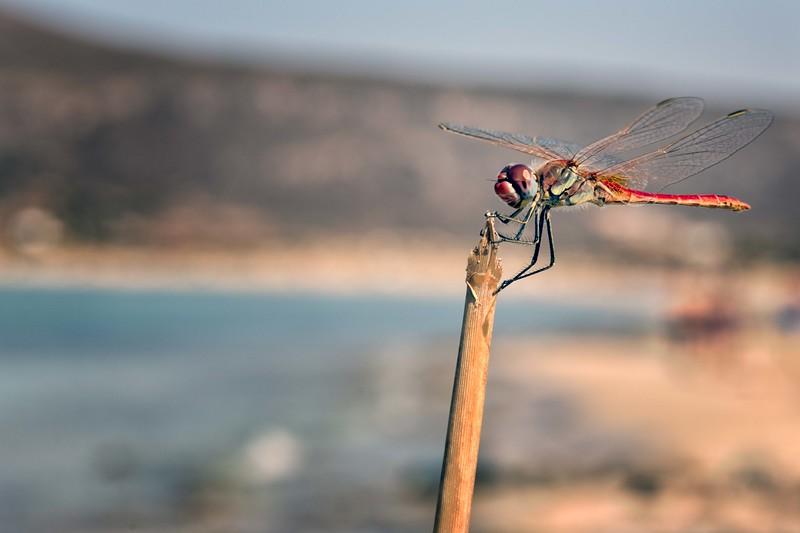 Greek Dragonfly
