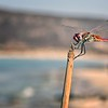 Greek Dragonfly
