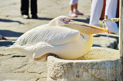 White pelican drinking from the fountain