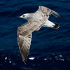 young-gull