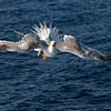 Gull-3