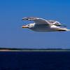 Gull-8