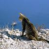 Feline, Santorini, Greece