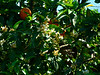 I guess orange trees can have both blossoms and ripe fruit at the same time.  The fragrance was sweet, or cloying, depending ....