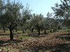 Olive grove with one poppy.  Olives are apparently harvested in January, so we didn't see any actual olives.