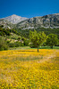 A bright yellow field of flowers on the Lasithi Plateau in eastern Crete, Greece.