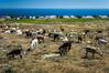 A herd of goats in rural Santorini near Fira, Greece.