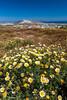 Island landscape of daisy flowers on a hillside overlooking the Aegean Sea in rural Santorini, Greece.