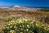 White daisy flowers on a hillside near Pyrgos on the Greek Island of Santorini, Greece.