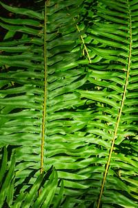 JW2_5711_forest-fern